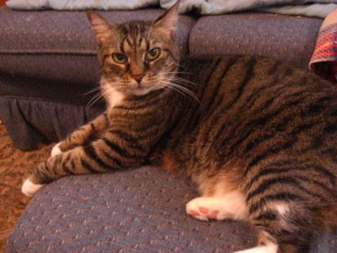 Brown tabby cat named Sophia.