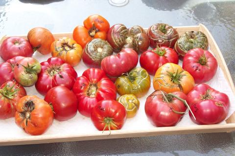 Beefsteak heirloom tomatoes.