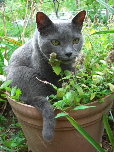 A large grey cat named Beauregard sitting in a pot of catnip.