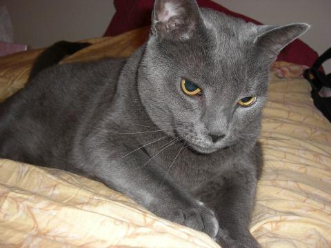 A big grey cat named Beauregard Jackson Pickett Burnside Yockey reposing on a bed.